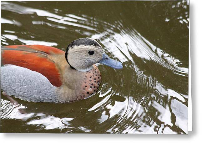 Duck Framed Prints Greeting Cards - Duck Greeting Card by Jeanne Andrews