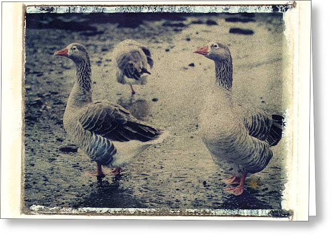 Transfer Greeting Cards - Ducks Greeting Card by Joe  Palermo