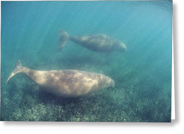 Shark Bay Greeting Cards - Dugongs Greeting Card by Peter Scoones