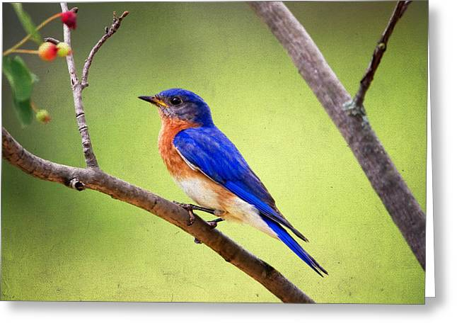 Tree Limbs Greeting Cards - Eastern Bluebird Greeting Card by Al  Mueller