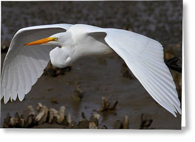 Egret Flight Greeting Card by Phil Lanoue