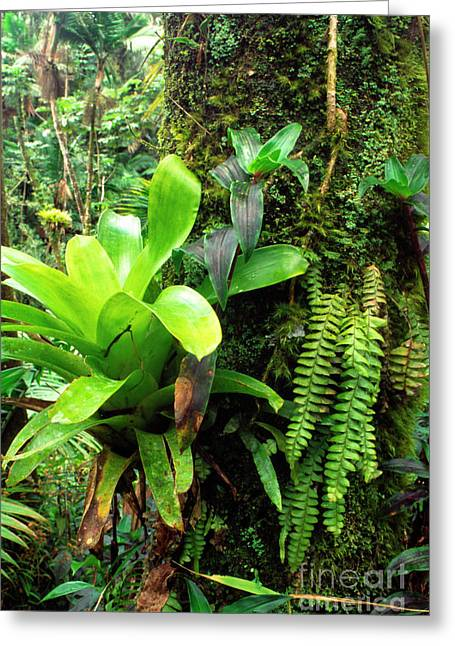 Epiphytic Bromeliads Greeting Cards - El Yunque National Forest Greeting Card by Thomas R Fletcher