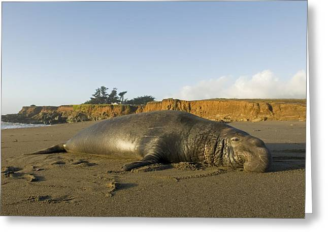 Big Sur Beach Greeting Cards - Elephant Seal Mirounga Angustirostris Greeting Card by Rich Reid