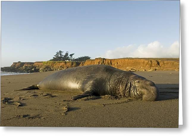 Big Sur California Greeting Cards - Elephant Seal Mirounga Angustirostris Greeting Card by Rich Reid