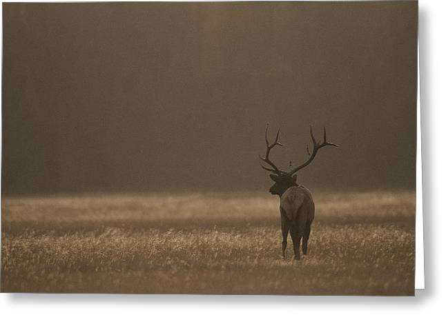 Elk Or Wapiti Bull At Sunset Greeting Card by Raymond Gehman