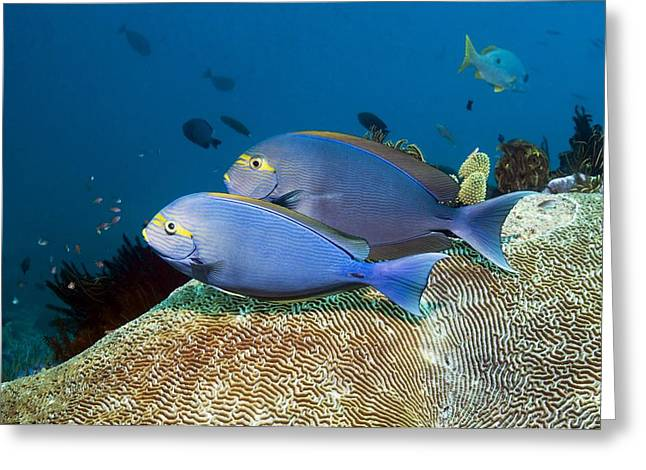 Elongate Surgeonfish Greeting Cards - Elongate Surgeonfish Greeting Card by Georgette Douwma