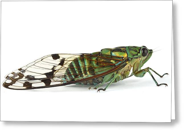 Animals And Insects Greeting Cards - Emerald Cicada Barbilla Np Costa Rica Greeting Card by Piotr Naskrecki