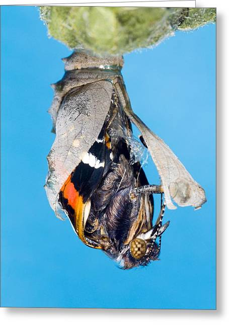 Spun Web Greeting Cards - Emerging Red Admiral Butterfly Greeting Card by Dr Keith Wheeler