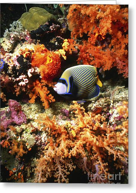 Recently Sold -  - Undersea Photography Greeting Cards - Emperor Angelfish, Indonesia Greeting Card by Beverly Factor