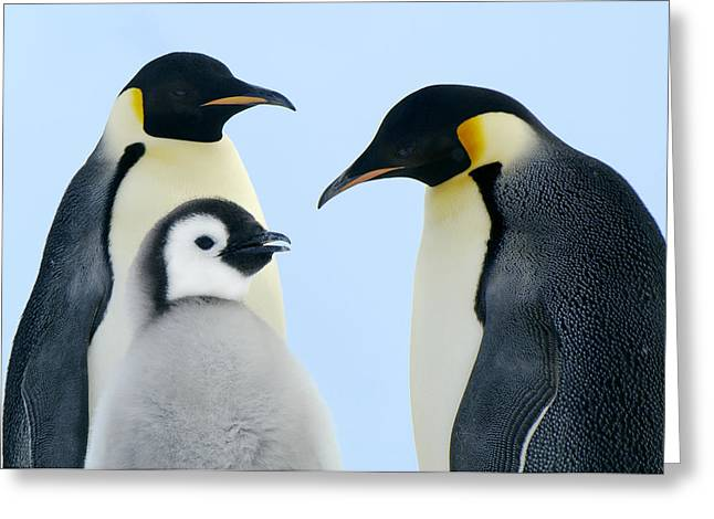 Baby Bird Greeting Cards - Emperor Penguin Aptenodytes Forsteri Greeting Card by Jan Vermeer