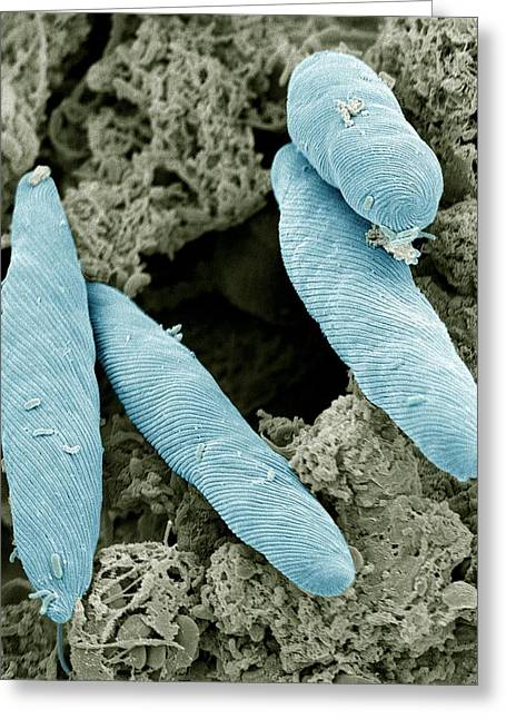 Euglena Greeting Cards - Euglena Flagellate Protozoans, Sem Greeting Card by Steve Gschmeissner