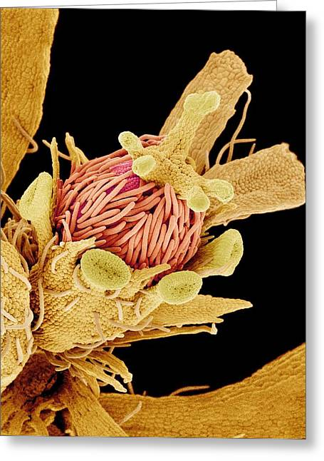 Euphorbia Greeting Cards - Euphorbia Flower Reproductive Parts, Sem Greeting Card by Susumu Nishinaga