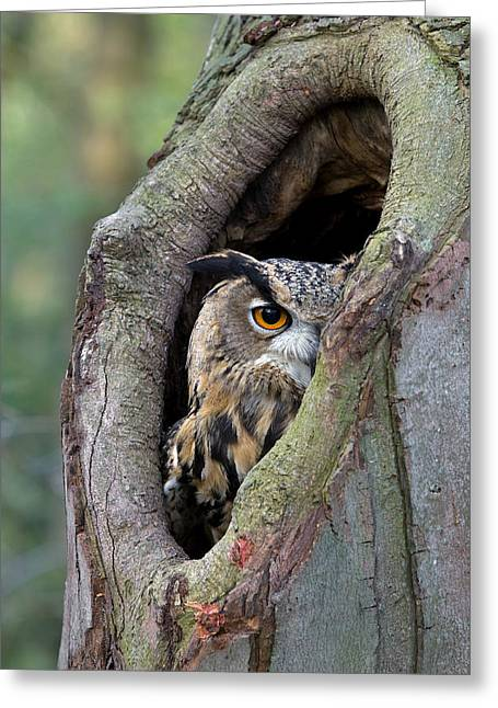 Individuals Greeting Cards - Eurasian Eagle-owl Bubo Bubo Looking Greeting Card by Rob Reijnen