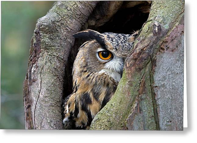 Eurasian Eagle-owl Bubo Bubo Looking Greeting Card by Rob Reijnen
