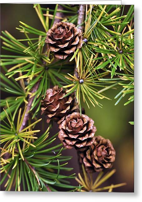 Pinaceae Greeting Cards - European Larch Cones Greeting Card by Colin Varndell