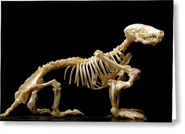 Biology Greeting Cards - European Mole Skeleton Greeting Card by Mauro Fermariello