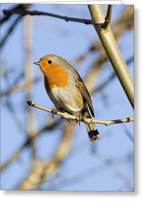 British Fauna Greeting Cards - European Robin Greeting Card by Duncan Shaw