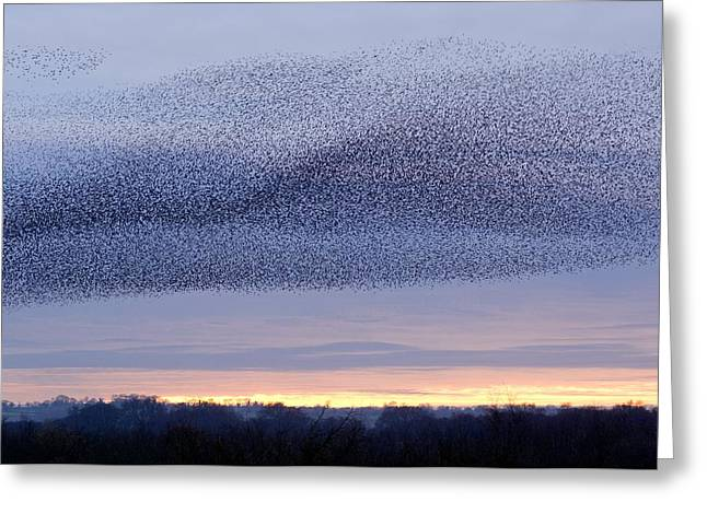 Somerset - England Greeting Cards - European Starling Flock Greeting Card by Duncan Shaw
