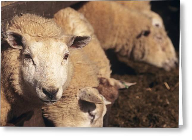 Ewes Feeding Greeting Card by David Aubrey