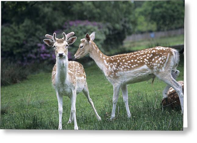 Dama Greeting Cards - Fallow Deer Greeting Card by David Aubrey