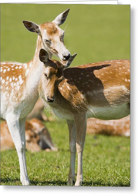 Dama Greeting Cards - Fallow Deer Greeting Card by Power And Syred