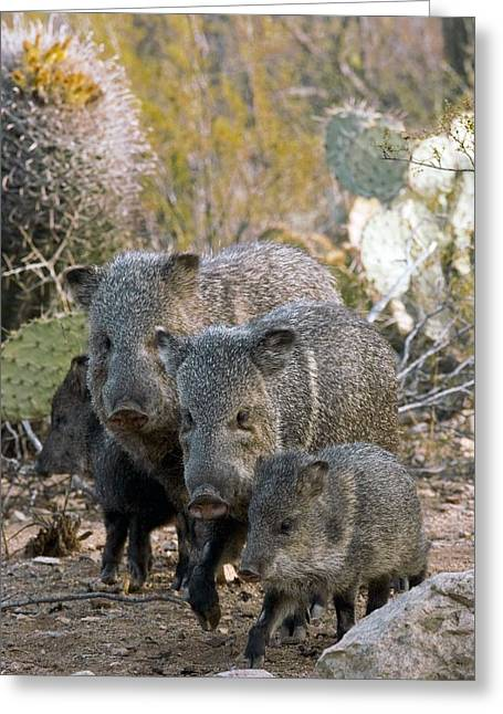 Fur Collar Greeting Cards - Family Of Collared Peccaries Greeting Card by Bob Gibbons