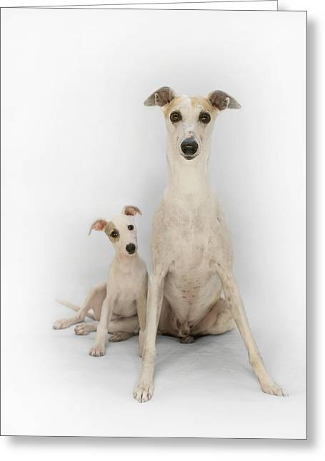 Father And Son Whippets Greeting Card by John Clum