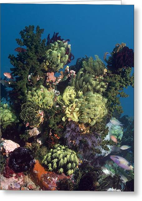 Indonesian Wildlife Greeting Cards - Featherstars On A Reef Greeting Card by Georgette Douwma