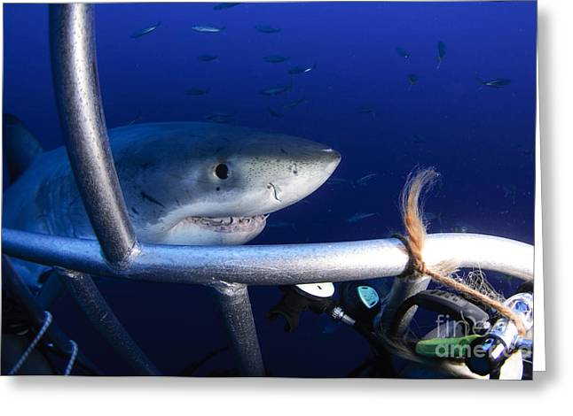 Guadalupe Island Greeting Cards - Female Great White Shark, Guadalupe Greeting Card by Todd Winner