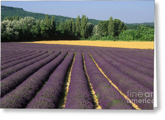 Lavandula Greeting Cards - Field of lavender. Provence Greeting Card by Bernard Jaubert