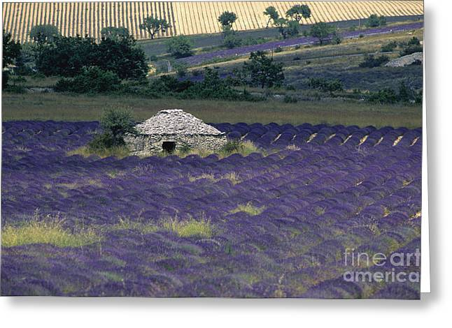 Plateau De Sault Greeting Cards - Field of lavender. Sault Greeting Card by Bernard Jaubert