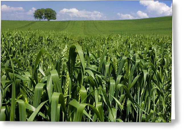Cornfield Greeting Cards - Field of wheat. Auvergne. France. Europe Greeting Card by Bernard Jaubert