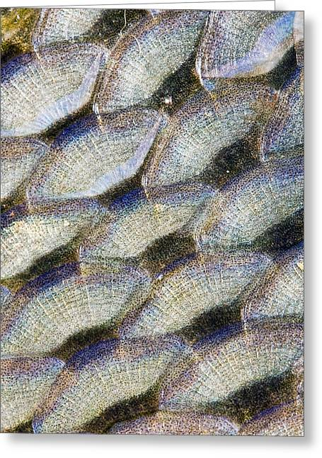 Betta Greeting Cards - Fish scales background Greeting Card by Odon Czintos