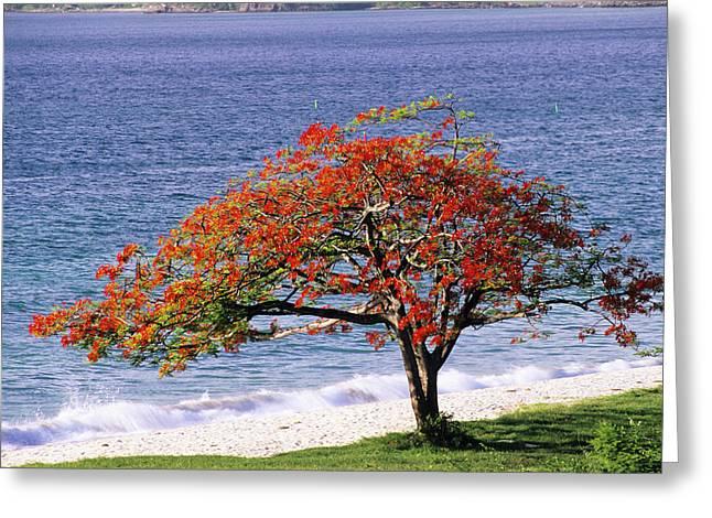 Flamboyant Tree Greeting Card by David Nunuk