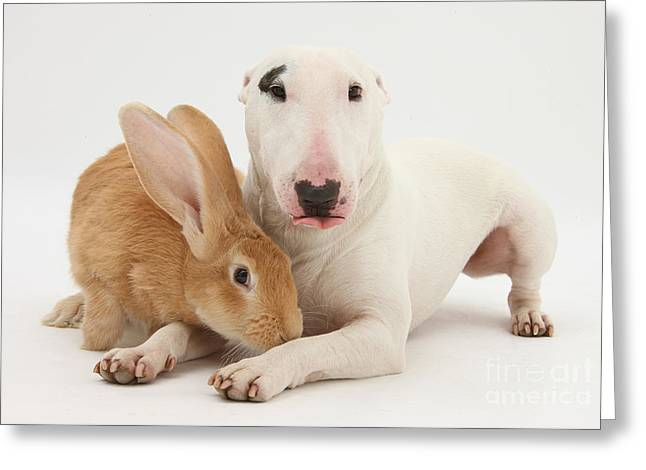 House Pet Greeting Cards - Flemish Giant Rabbit And Miniature Bull Greeting Card by Mark Taylor