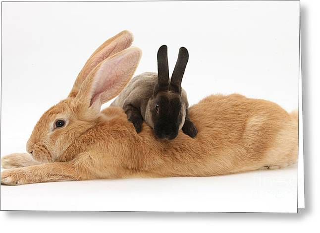 Domesticated Pet Greeting Cards - Flemish Giant Rabbit With Sooty Rex Greeting Card by Mark Taylor