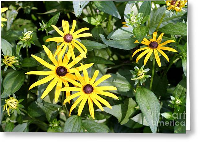 Full Spectrum Greeting Cards - Flower Rudbeckia Fulgida In Full Greeting Card by Ted Kinsman