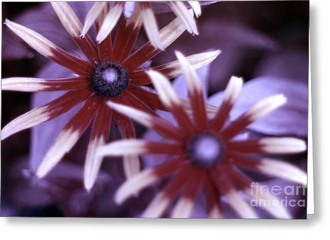 Blacklight Greeting Cards - Flower Rudbeckia Fulgida In Uv Light Greeting Card by Ted Kinsman