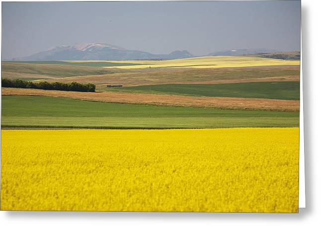 Canadian Foothills Landscape Greeting Cards - Flowering Canola Fields Mixed With Greeting Card by Michael Interisano