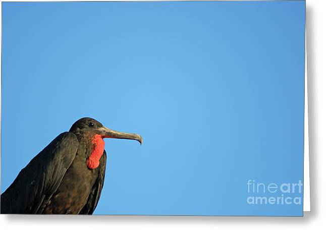 Flying Great Frigate Greeting Card by Sami Sarkis