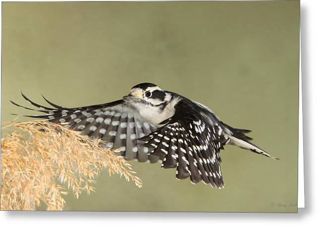 Woodpecker Greeting Cards - Flying Under the Radar Greeting Card by Gerry Sibell