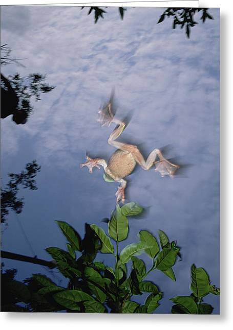 Recently Sold -  - Flying Frog Greeting Cards - Foam Nest Tree Frog Polypedates Dennysi Greeting Card by Mark Moffett
