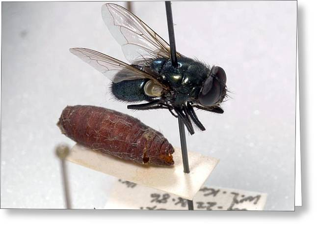 Court Of Law Greeting Cards - Forensic Helpers, Black Blow Fly Greeting Card by Science Source