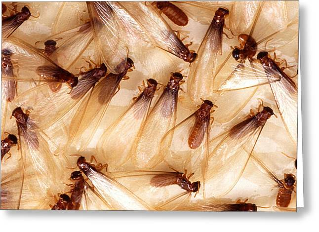 Formosan Termites Greeting Card by Science Source