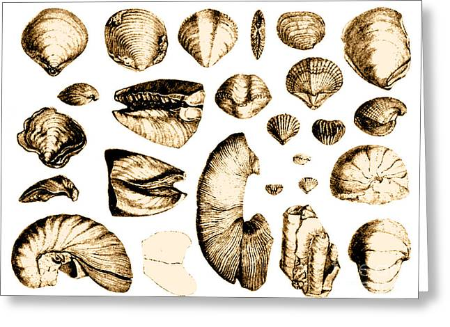Fossilized Shell Greeting Cards - Fossilized Shells, 1844 Greeting Card by Science Source