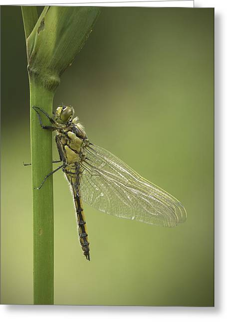 Dragonflies Greeting Cards - Four Spotted Chaser Greeting Card by Andy Astbury