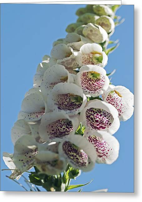 Foxglove Flowers Greeting Cards - Foxglove (digitalis Sp.) Greeting Card by Dr Keith Wheeler