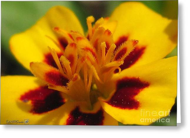 Starfire Photographs Greeting Cards - French Marigold named Starfire Greeting Card by J McCombie