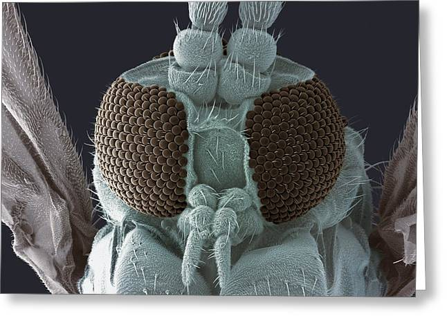 False-colour Greeting Cards - Fungus Gnat Head, Sem Greeting Card by Steve Gschmeissner