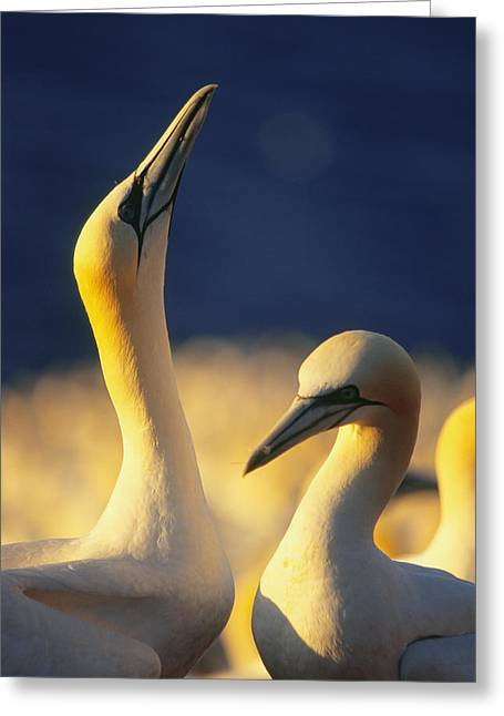 Reserve Greeting Cards - Gannets, Parc National De Greeting Card by Yves Marcoux